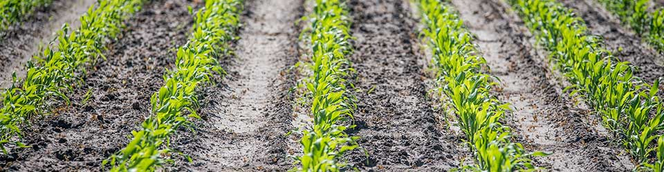 How to Ensure High-Quality Corn Silage