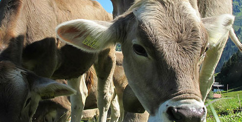 Four Ways to Prevent Heat Stress in Cattle