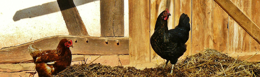 chickens in hay