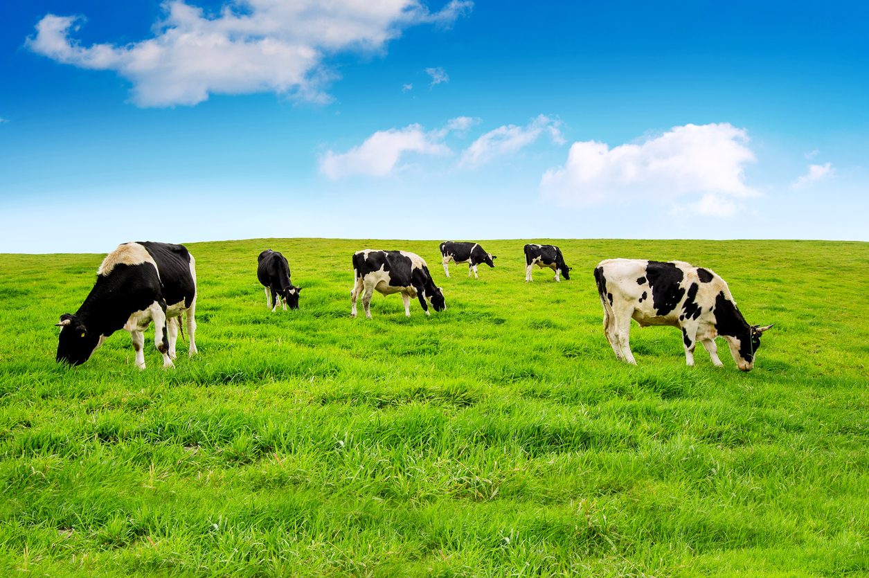 cows nitrate level